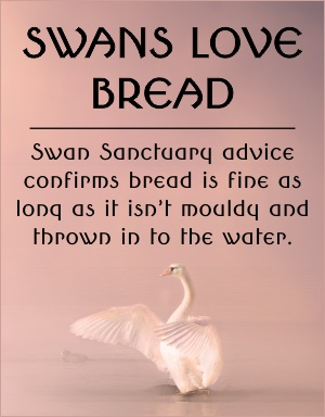 swans and bread